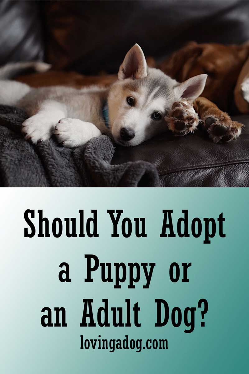 Should You Adopt a Puppy or an Adult Dog