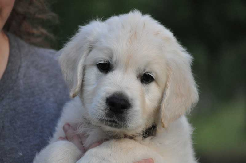 My Golden Retriever Flynn as a puppy. Learn to recognize good dog breeders.
