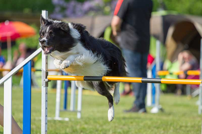 Dog jumping in agility. Training a dog using shaping