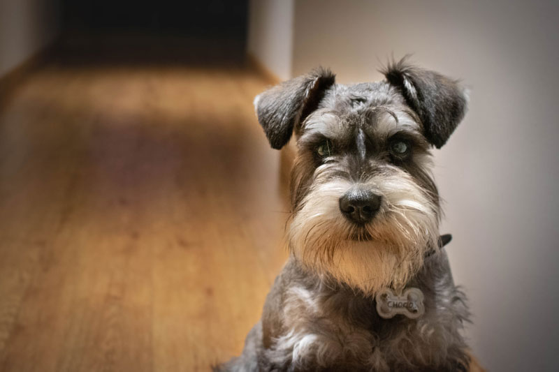 A Mini Schnauzer who is ready to be trained with positive reinforcement